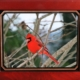 Terry Potoczny | The Cardinal | Framed 8 X 10 print for $35.