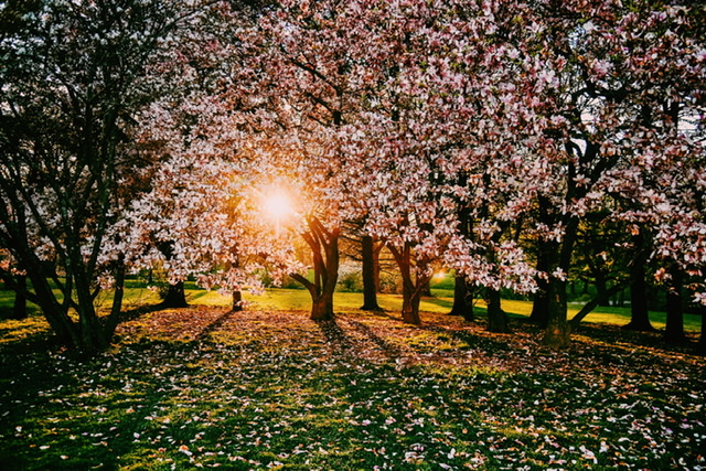 Carly Castellano | Spring Blossoms in Washington Park | 8x10 Metallic Prints $20